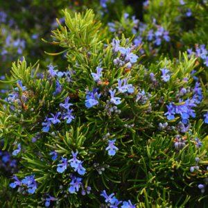 rosemary, flowers, blue